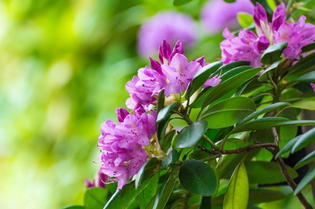 498c7ff42520 Στα εξωτικά λουλούδια ανήκει και το ροδόδεντρο που προέρχεται από τα  Ιμαλάια. Πρόκειται για έναν αειθαλή θάμνο εξωτερικού χώρου